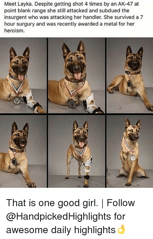 Memes, Girl, and Good: Meet Layka. Despite getting shot 4 times by an AK-47 at  point blank range she still attacked and subdued the  insurgent who was attacking her handler. She survived a 7  hour surgury and was recently awarded a metal for her  heroism. That is one good girl. | Follow @HandpickedHighlights for awesome daily highlights👌