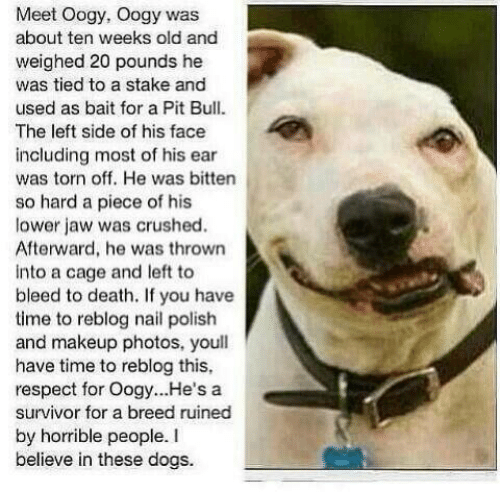 Dogs, Makeup, and Memes: Meet Oogy, Oogy was  about ten weeks old and  weighed 20 pounds he  was tied to a stake and  used as bait for a Pit Bull  The left side of his face  including most of his ear  was torn off. He was bitten  so hard a piece of his  lower jaw was crushed.  Afterward, he was thrown  into a cage and left to  bleed to death. If you have  time to reblog nail polish  and makeup photos, youll  have time to reblog this,  respect for Oogy.. .He's a  survivor for a breed ruined  by horrible people. I  believe in these dogs.