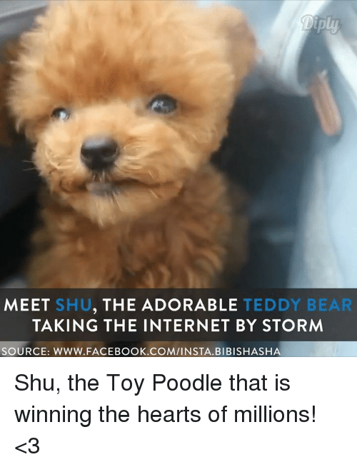 Facebook, Internet, and Memes: MEET SHU  THE ADORABLE  TEDDY BEAR  TAKING THE INTERNET BY STORM  SOURCE: WWW. FACEBOOK.COM/INSTA. BIBISHASHA Shu, the Toy Poodle that is winning the hearts of millions! <3