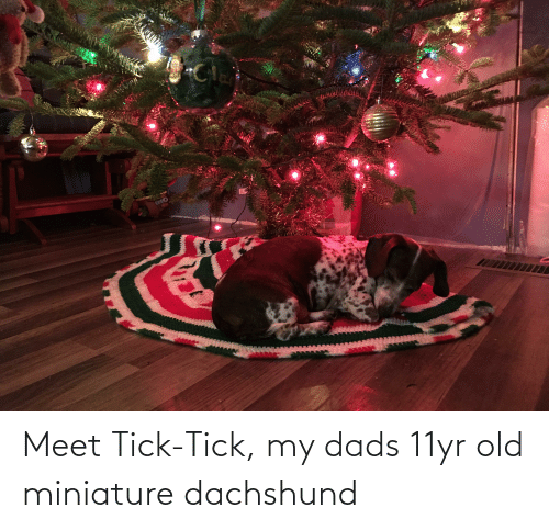 Old, Tick, and Dachshund: Meet Tick-Tick, my dads 11yr old miniature dachshund