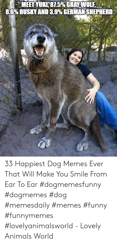 Animals, Funny, and Memes: MEET YUKI:81.5% GRAYWOLEA  8.6% USKY AND 3.9% GERMAN SHEPHERD 33 Happiest Dog Memes Ever That Will Make You Smile From Ear To Ear #dogmemesfunny #dogmemes #dog #memesdaily #memes #funny #funnymemes #lovelyanimalsworld - Lovely Animals World