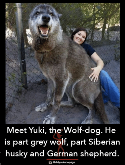 Memes, German Shepherd, and Grey: Meet Yuki, the Wolf-dog. He  s part grey wolf, part Siberian  husky and German shepherd.