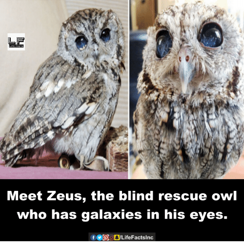 Memes, Zeus, and 🤖: Meet Zeus, the blind rescue owl  who has galaxies in his eyes.  f bogLifeFactslnc