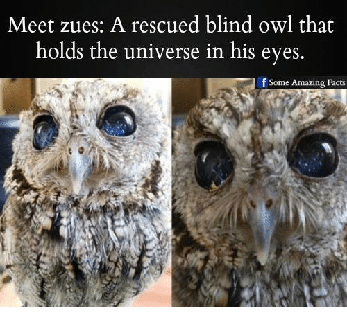 Memes, 🤖, and Owl: Meet zues. A rescued blind owl that  holds the universe in his eyes  f Some Amazing Facts