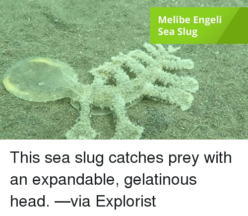 Head, Memes, and 🤖: Melibe Engeli  Sea Slug This sea slug catches prey with an expandable, gelatinous head. —via Explorist