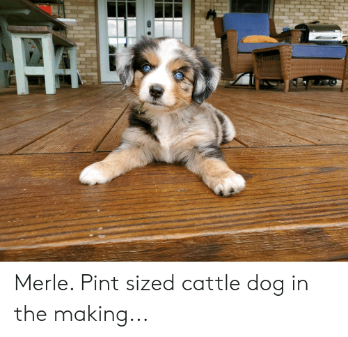 Merle Pint Sized Cattle Dog in the Making | Pint Meme on ME ME