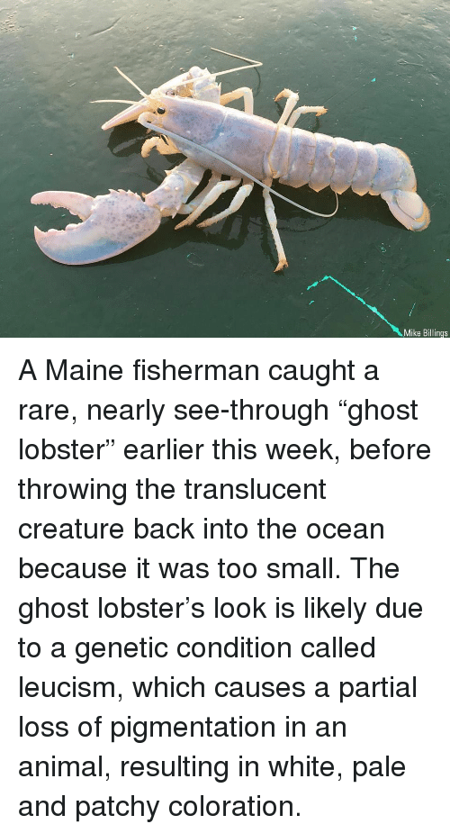 """Memes, Animal, and Ghost: Mike Billings A Maine fisherman caught a rare, nearly see-through """"ghost lobster"""" earlier this week, before throwing the translucent creature back into the ocean because it was too small. The ghost lobster's look is likely due to a genetic condition called leucism, which causes a partial loss of pigmentation in an animal, resulting in white, pale and patchy coloration."""