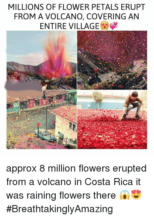 Memes Costa Rica And Volcano MILLIONS OF FLOWER PETALS ERUPT FROM A VOLCANO
