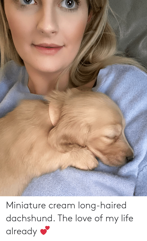 Life, Love, and Cream: Miniature cream long-haired dachshund. The love of my life already 💕
