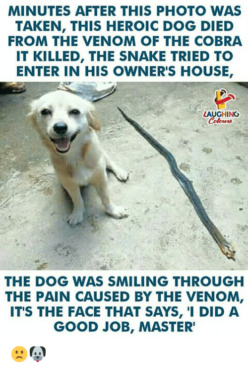 Taken, Good, and House: MINUTES AFTER THIS PHOTO WAS  TAKEN, THIS HEROIC DOG DIED  FROM THE VENOM OF THE COBRA  IT KILLED, THE SNAKE TRIED TO  ENTER IN HIS OWNER'S HOUSE,  LAUGHING  THE DOG WAS SMILING THROUGH  THE PAIN CAUSED BY THE VENOM,  ITS THE FACE THAT SAYS, '1 DID A  GOOD JOB, MASTER' 🙁🐶