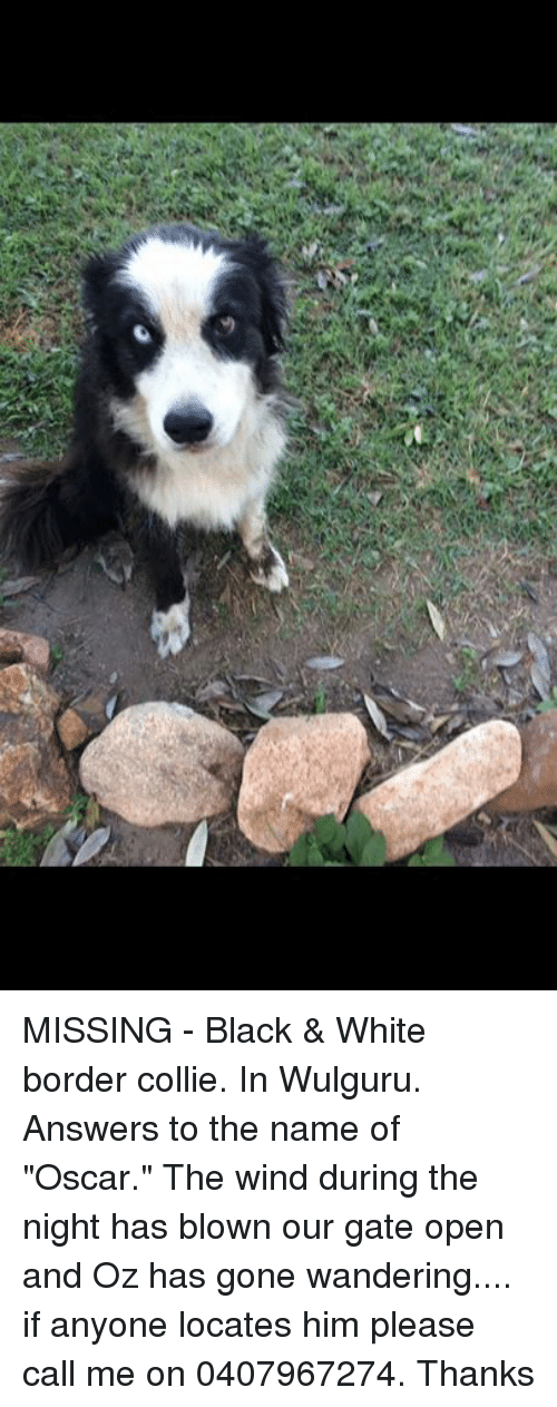 missing black white border collie in wulguru answers 21362373 missing black & white border collie in wulguru answers to the name