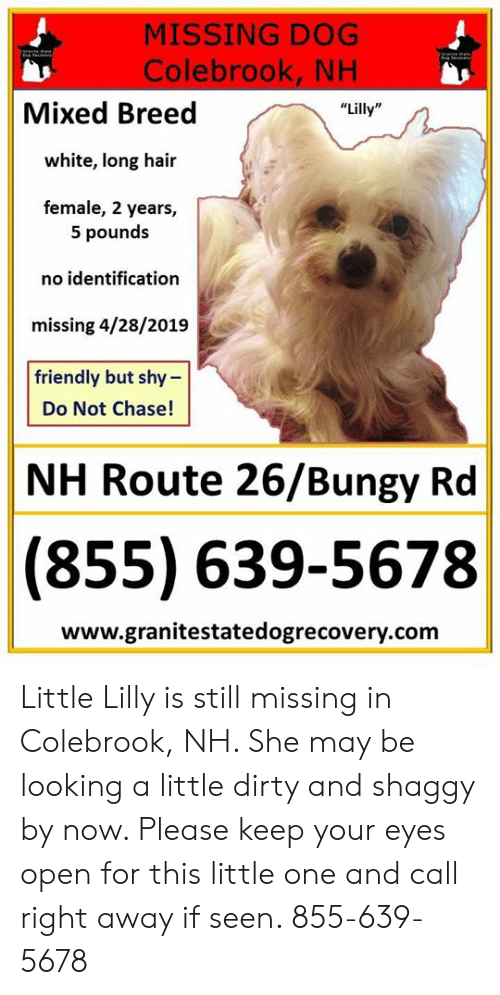 MISSING DOG Colebrook NH Mixed Breed Lilly White Long Hair