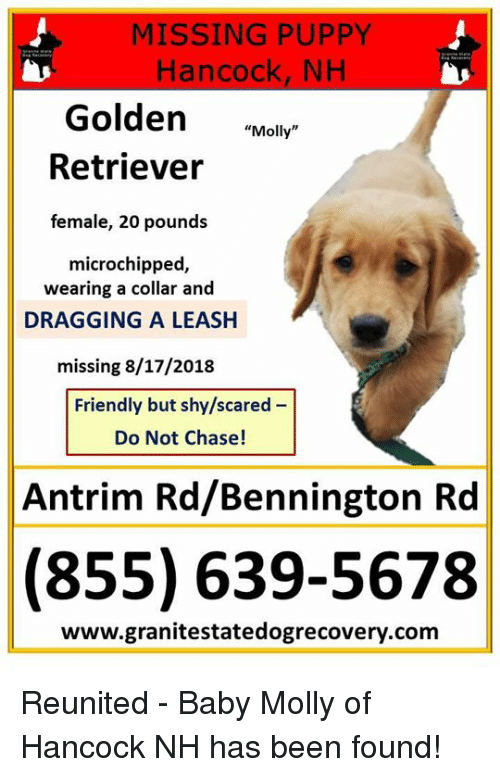 Missing Puppy Hancock Nh Golden Molly Retriever Female 20 Pounds