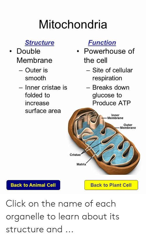 Mitochondria Structure Function Double Powerhouse Of