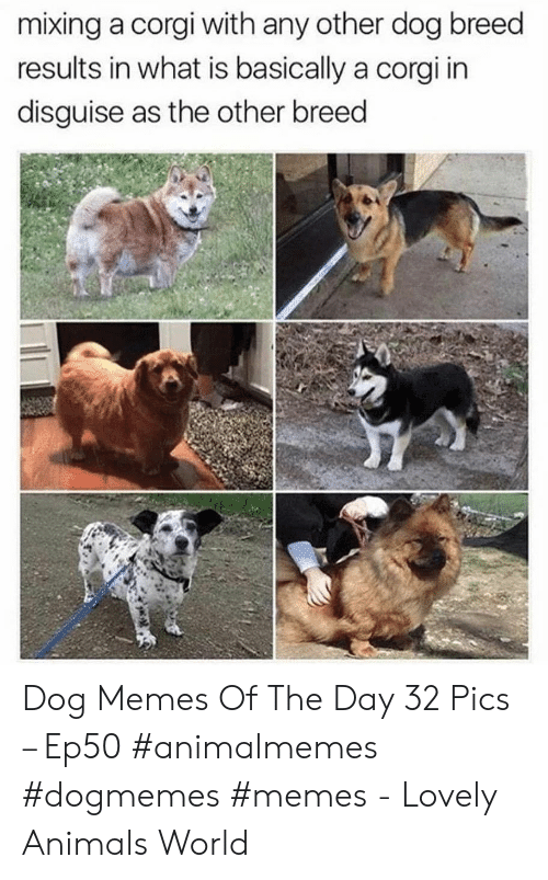 Animals, Corgi, and Memes: mixing a corgi with any other dog breed  results in what is basically a corgi in  disguise as the other breed Dog Memes Of The Day 32 Pics – Ep50 #animalmemes #dogmemes #memes - Lovely Animals World