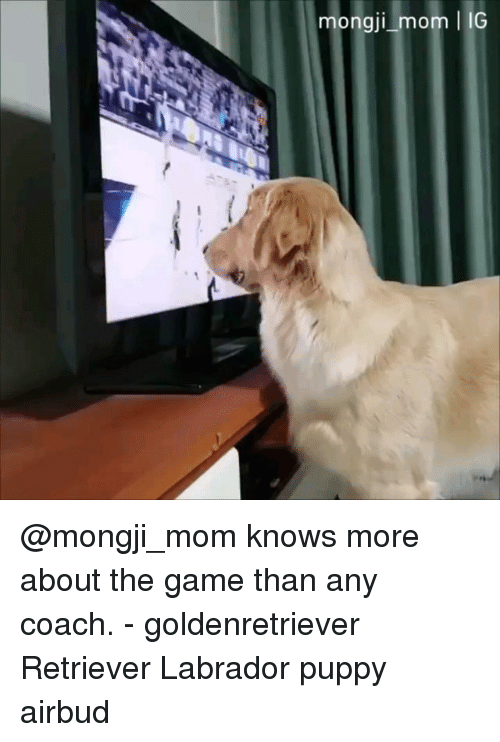 Memes, The Game, and Game: mongji mom IG @mongji_mom knows more about the game than any coach. - goldenretriever Retriever Labrador puppy airbud