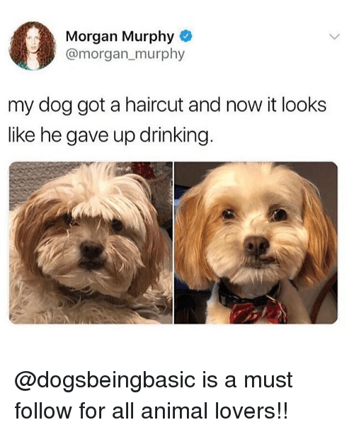 Drinking, Haircut, and Memes: Morgan Murphy  @morgan murphy  my dog got a haircut and now it looks  like he gave up drinking. @dogsbeingbasic is a must follow for all animal lovers!!