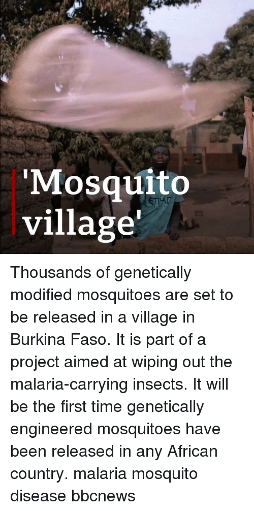 Memes, Time, and Been: Mosquito  village' Thousands of genetically modified mosquitoes are set to be released in a village in Burkina Faso. It is part of a project aimed at wiping out the malaria-carrying insects. It will be the first time genetically engineered mosquitoes have been released in any African country. malaria mosquito disease bbcnews