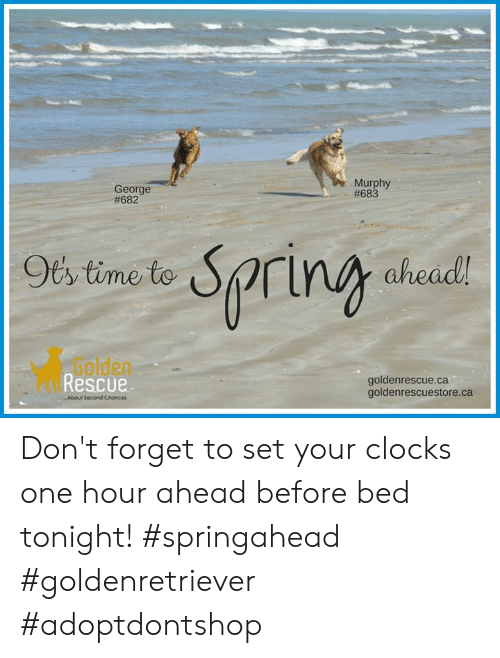 Memes, Time, and 🤖: Murphy  #683  George  #682  Oty time to  rin ahead  Golden  Rescue  goldenrescue.ca  goldenrescuestore.ca  About Second Chance Don't forget to set your clocks one hour ahead before bed tonight!  #springahead #goldenretriever #adoptdontshop