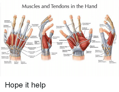 Muscles And Tendons In The Hand 2nd Dorsal Interosseus M