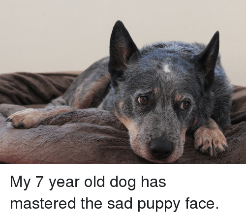 My 7 year old dog has mastered the sad puppy face puppy meme on puppy old and sad my 7 year old dog has mastered the sad voltagebd Gallery