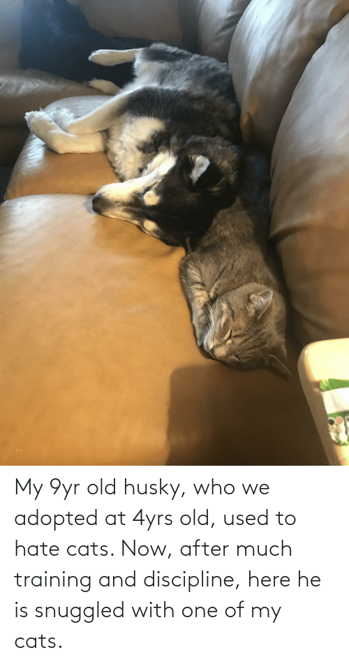 Cats, Husky, and Old: My 9yr old husky, who we adopted at 4yrs old, used to hate cats. Now, after much training and discipline, here he is snuggled with one of my cats.