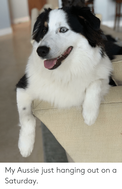 Aussie, Saturday, and Just: My Aussie just hanging out on a Saturday.