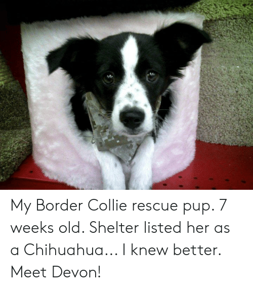 My Border Collie Rescue Pup 7 Weeks Old Shelter Listed Her