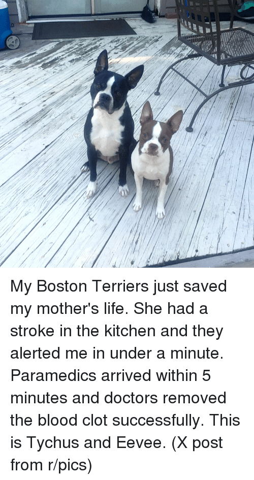 Life, Boston, and Hospital: My Boston Terriers just saved my mother's life. She had a stroke in the kitchen and they alerted me in under a minute. Paramedics arrived within 5 minutes and doctors removed the blood clot successfully. This is Tychus and Eevee. (X post from r/pics)