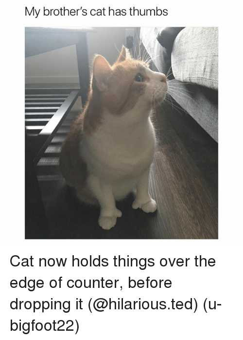 Funny, Ted, and Hilarious: My brother's cat has thumbs Cat now holds things over the edge of counter, before dropping it (@hilarious.ted) (u-bigfoot22)