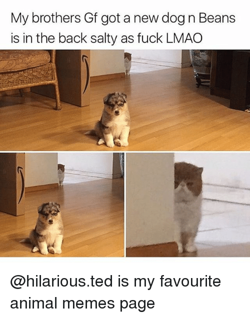 Lmao, Memes, and Being Salty: My brothers Gf got a new dog n Beans  is in the back salty as fuck LMAO @hilarious.ted is my favourite animal memes page