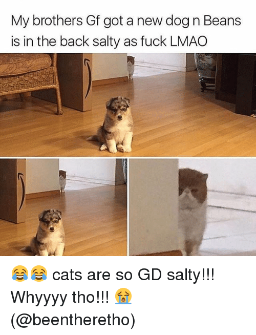Cats, Lmao, and Memes: My brothers Gf got a new dog n Beans  is in the back salty as fuck LMAO 😂😂 cats are so GD salty!!! Whyyyy tho!!! 😭(@beentheretho)