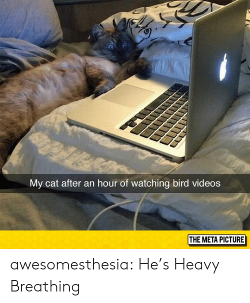 Tumblr, Videos, and Blog: My cat after an hour of watching bird videos  THE META PICTURE awesomesthesia:  He's Heavy Breathing