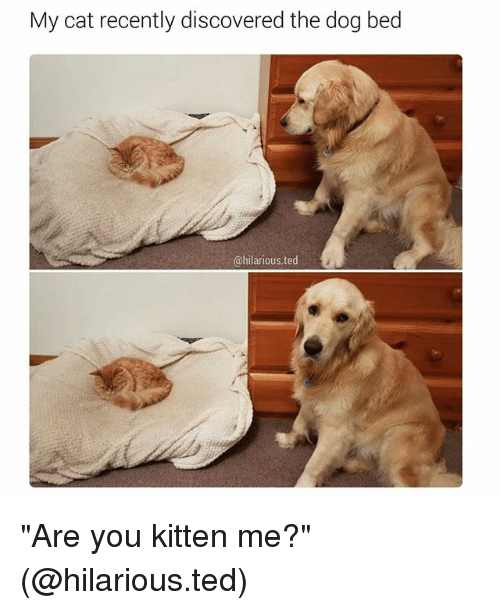 "Funny, Cat, and Kitten: My cat recently discovered the dog bed  @hilarious ted ""Are you kitten me?"" (@hilarious.ted)"