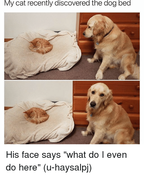 "Funny, Cat, and Beds: My cat recently discovered the dog bed His face says ""what do I even do here"" (u-haysalpj)"