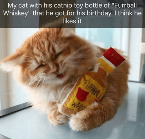 """Birthday, Memes, and 🤖: My cat with his catnip toy bottle of """"Furrball  Whiskey"""" that he got for his birthday. I think he  likes it"""