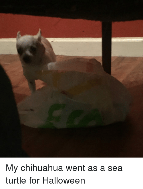 my chihuahua went as a sea turtle for halloween 28799254 my chihuahua went as a sea turtle for halloween chihuahua meme on