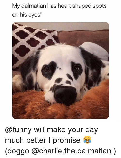 "Charlie, Funny, and Heart: My dalmatian has heart shaped spots  on his eyes"" @funny will make your day much better I promise 😂 (doggo @charlie.the.dalmatian )"