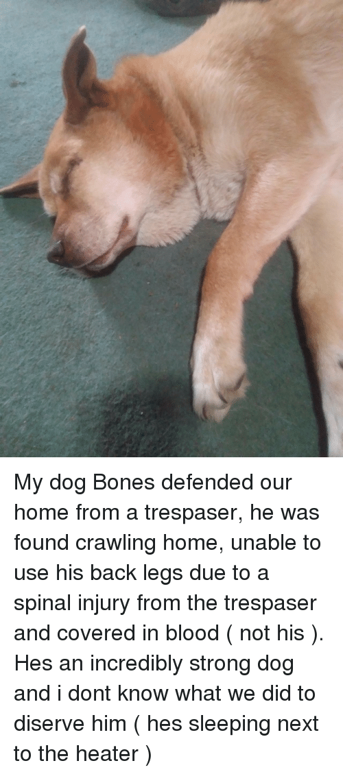 Bones, Home, and Sleeping: My dog Bones defended our home from a trespaser, he was found crawling home, unable to use his back legs due to a spinal injury from the trespaser and covered in blood ( not his ). Hes an incredibly strong dog and i dont know what we did to diserve him ( hes sleeping next to the heater )
