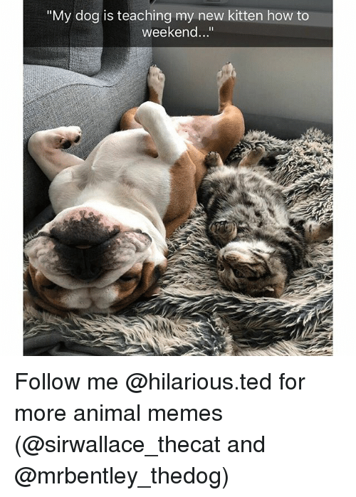 "Funny, Memes, and Ted: ""My dog is teaching my new kitten how to  weekend..."" Follow me @hilarious.ted for more animal memes (@sirwallace_thecat and @mrbentley_thedog)"