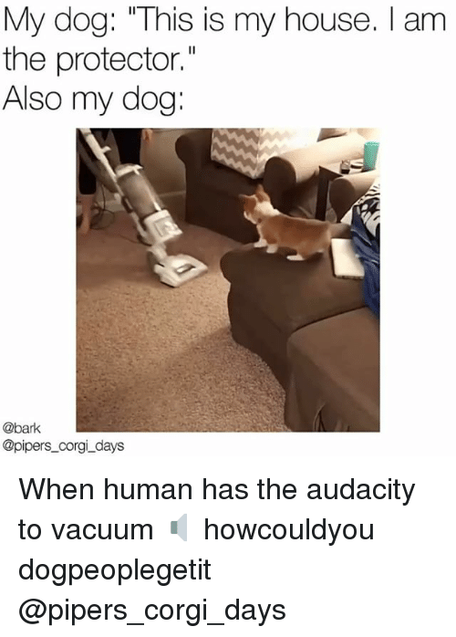 """Corgi, Memes, and My House: My dog: """"This is my house. I am  the protector.""""  Also my dog:  @bark  @pipers_corgi_days When human has the audacity to vacuum 🔈 howcouldyou dogpeoplegetit @pipers_corgi_days"""
