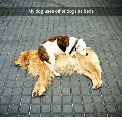 Dogs, Dog, and Beds: My dog uses other dogs as beds