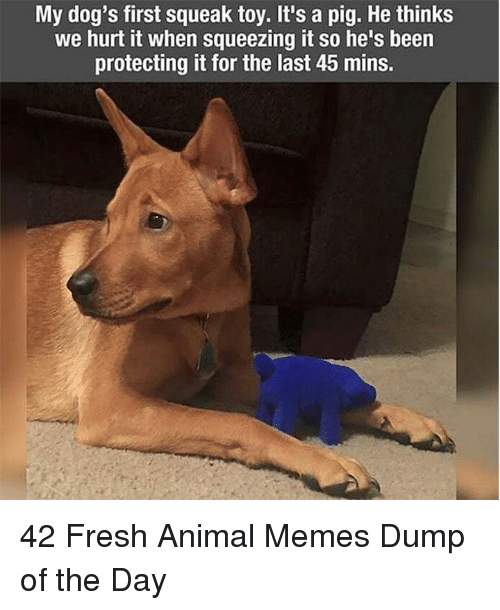 Dogs, Fresh, and Memes: My dog's first squeak toy. It's a pig. He thinks  we hurt it when squeezing it so he's been  protecting it for the last 45 mins. 42 Fresh Animal Memes Dump of the Day