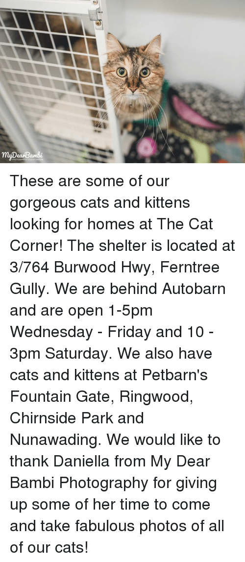 Bambi, Memes, and Gorgeous: my ea Bambi. These are some of our gorgeous cats and kittens looking for homes at The Cat Corner!  The shelter is located at 3/764 Burwood Hwy, Ferntree Gully. We are behind Autobarn and are open 1-5pm Wednesday - Friday and 10 - 3pm Saturday. We also have cats and kittens at Petbarn's Fountain Gate, Ringwood, Chirnside Park and Nunawading.  We would like to thank Daniella from My Dear Bambi Photography for giving up some of her time to come and take fabulous photos of all of our cats!