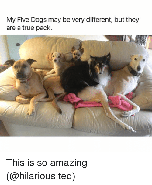 Dogs, Funny, and Ted: My Five Dogs may be very different, but they  are a true pack. This is so amazing (@hilarious.ted)