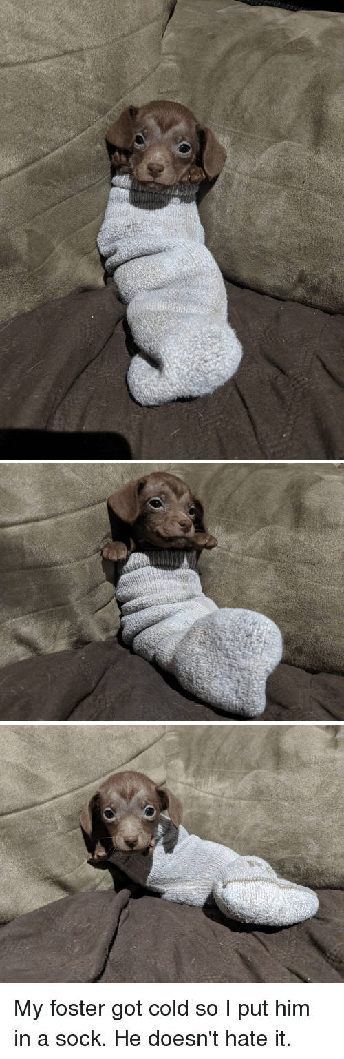 Cold, Got, and Him: My foster got cold so I put him in a sock. He doesn't hate it.