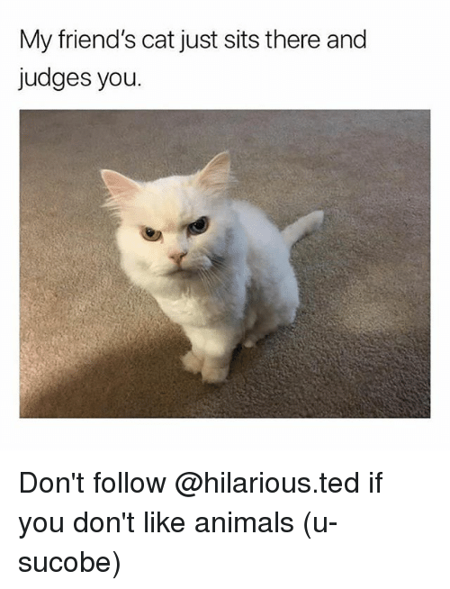 Animals, Friends, and Memes: My friend's cat just sits there and  judges you. Don't follow @hilarious.ted if you don't like animals (u-sucobe)