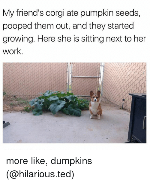 Corgi, Friends, and Funny: My friend's corgi ate pumpkin seeds,  pooped them out, and they started  growing. Here she is sitting next to her  work. more like, dumpkins (@hilarious.ted)