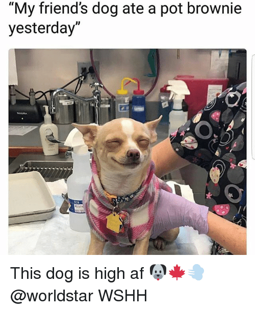 Af, Friends, and Memes: My friend's dog ate a pot brownie  yesterday This dog is high af 🐶🍁💨 @worldstar WSHH