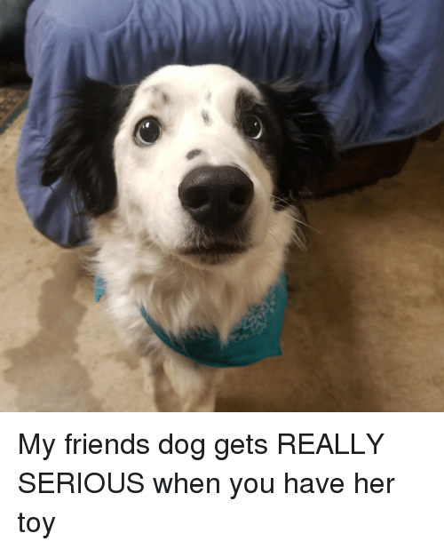 Friends, Her, and Dog: My friends dog gets REALLY SERIOUS when you have her toy